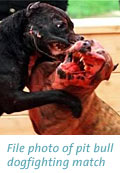 Pit bull dogfighting