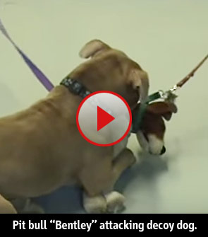 pit bull Bentley attacking decoy dog
