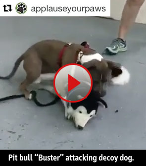 pit bull Buster attacking decoy dog