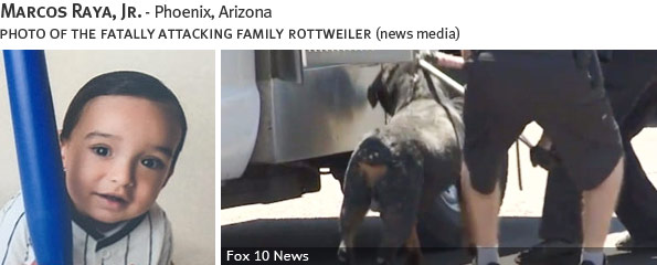 Marcos Raya Jr fatal dog attack - rottweiler, breed identification photograph