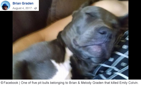 One of five pit bulls belonging to Brian and Melody Graden that killed Emily Colvin