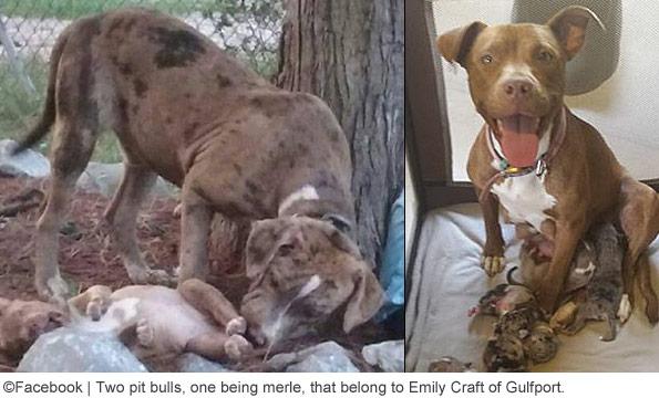 Emily craft pit bulls arrested fatal dog attack