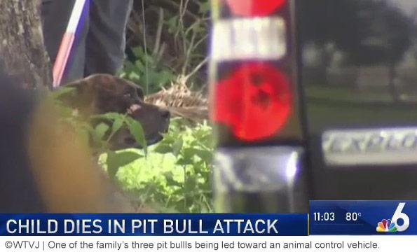 family pit bull kills baby miramar