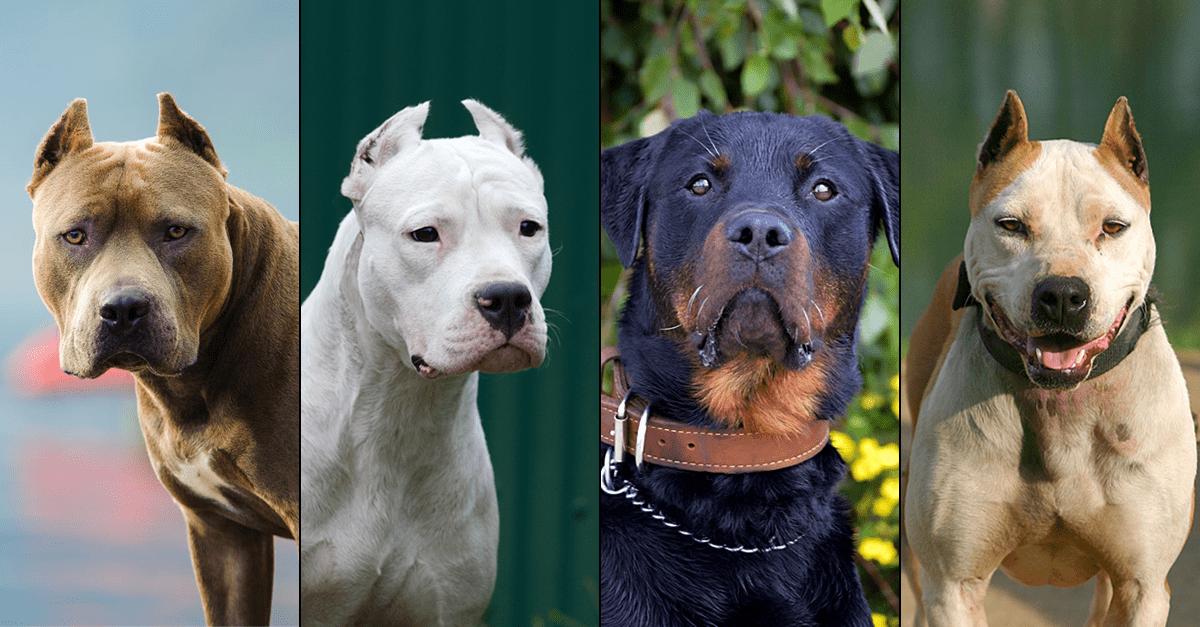 Dangerous Dog Breeds Dogsbite Org