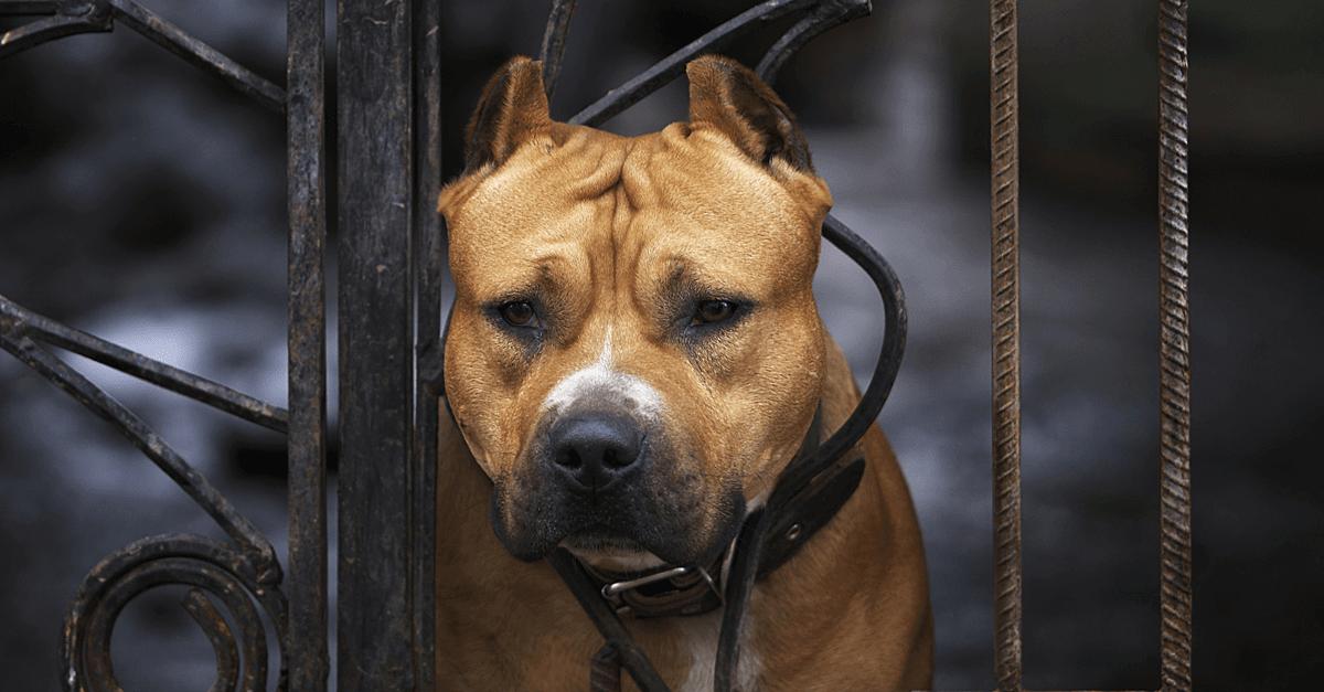 Pit Bull Owners - Dangerous Dogs - DogsBite org