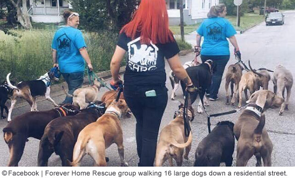 virginia beach rescue group walking 16 large dogs down residential street