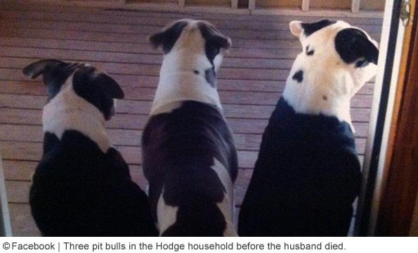 the pit bulls lisa hodge household