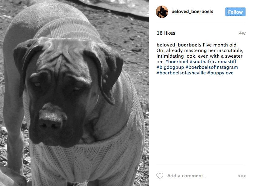 Amazing Boerboel Black Adorable Dog - 5-month-old-boerboel-asheville  Pic_577751  .jpg