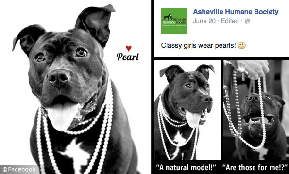 anthropomorphic pit bull adoption campaign by the asheville humane society