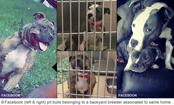 Backyard breeders dogs associated to 345 middle street