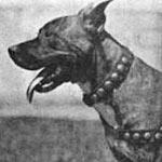 Chas Werner pit bull Brindle Breaker