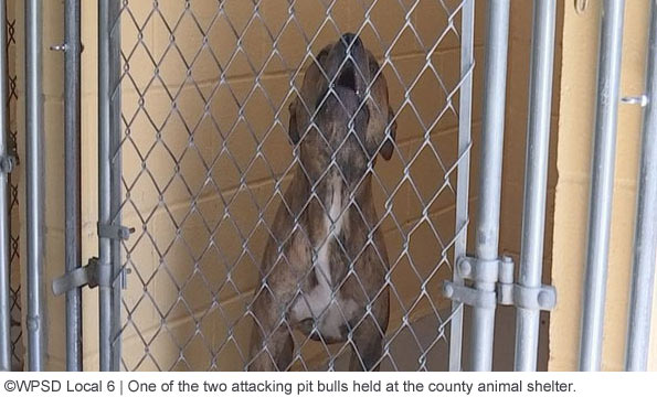 chris bouland vicious pit bull at shelter