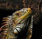 Iguana No Service Animal