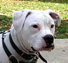 American bulldog photo