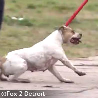 pit bulls kill boy in detroit, pull under fence