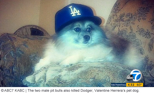 two pit bulls fatally attacked Dodger