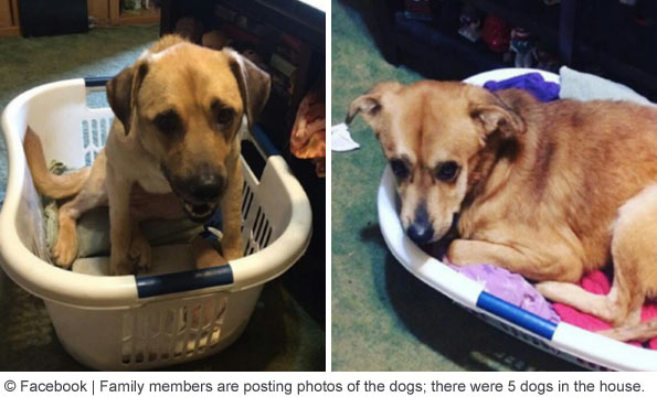 dogs using laundry baskets as beds