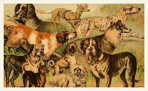 domesticated dog breeds illustration