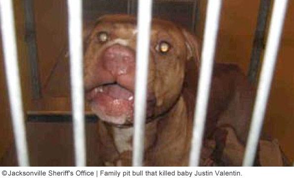 family pit bull kills baby