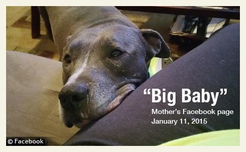 2015 dog bite fatality family pit bull kills baby boy in