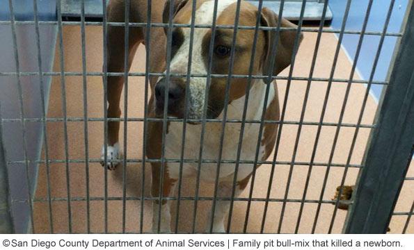 rescue adopted pit bull kills Sebastian Caban mira mesa