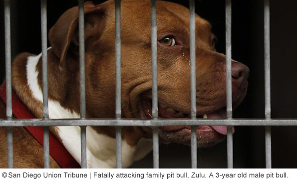 pit bull zulu kills baby in lemon grove