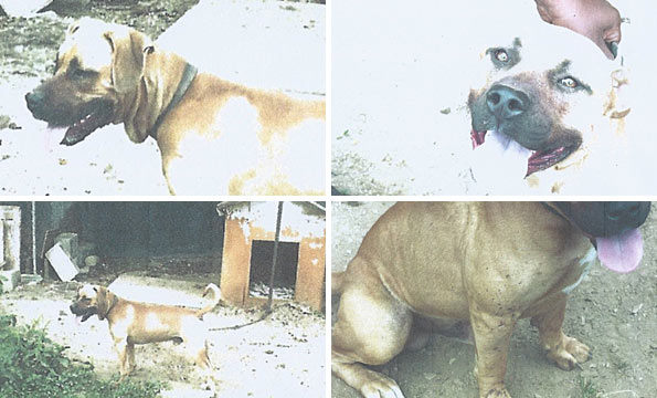 photographs of pit bull mix that killed west virginia boy