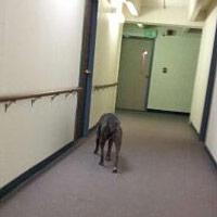 loose service dog pit bull in senior housing