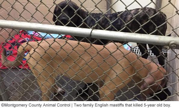 english mastiffs kill boy in montgomery county