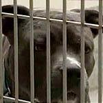 Dime a dozen image of a dangerous pit bull