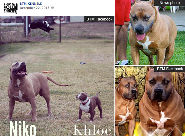 BMT Kennels' XL pit bull Niko stud dog kills child