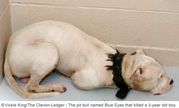 pit bull blue eyes killed 3 year old boy