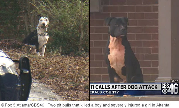 thee pit bulls kill child atlanta going to school