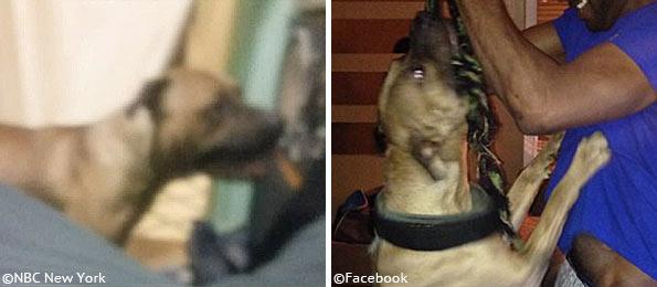 images of pit bull kills girl in elmont