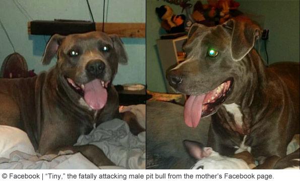 pit bull named tiny killed boy in huntington