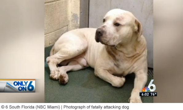 pit bull or american bulldog mix kills south florida girl