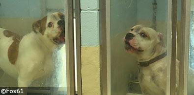 american pit bulls hamilton hicks