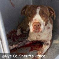 pit bulls kill pahrump man