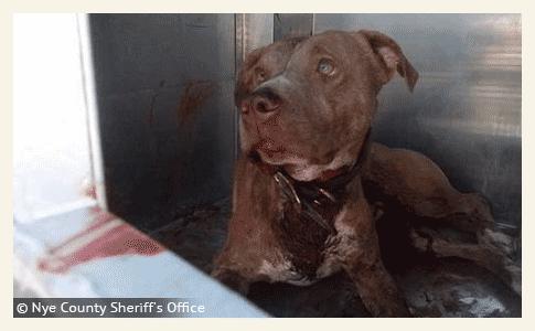 pit bull kills pahrump man in violent attack