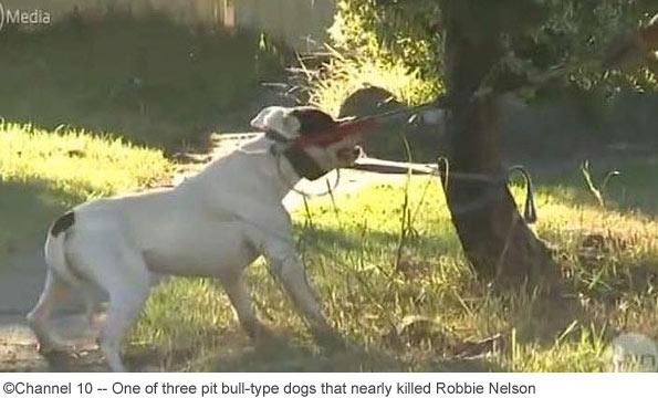 pit bulls nearly kill jogger, robbie nelson, sydney
