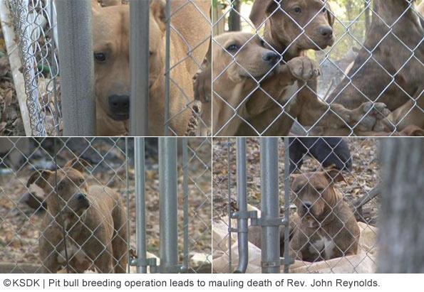 calloway county, pit bull breeding operation leaving Reverend john reynolds dead