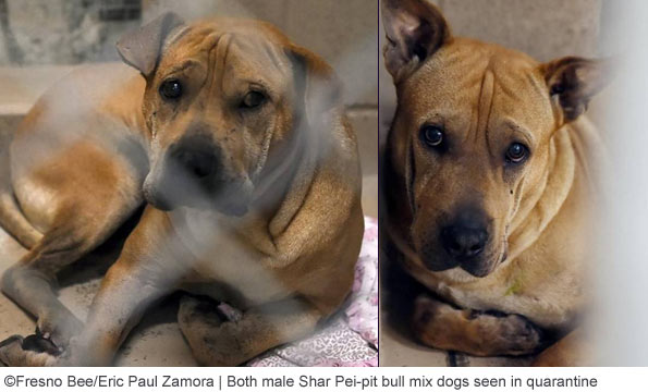 Shar Pie-pit bull mix dogs kill baby