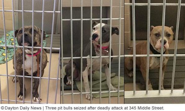 Three pit bulls seized dayton pit bull fatality