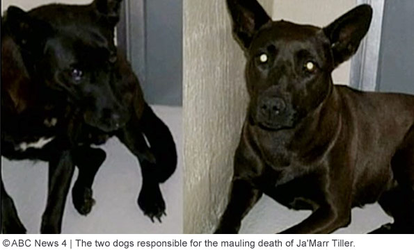 two dogs that killed 2-year old boy ja marr tiller