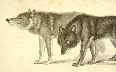 Fatal Wolf Dog Hybrid Attacks The Archival Record Dogsbite Blog